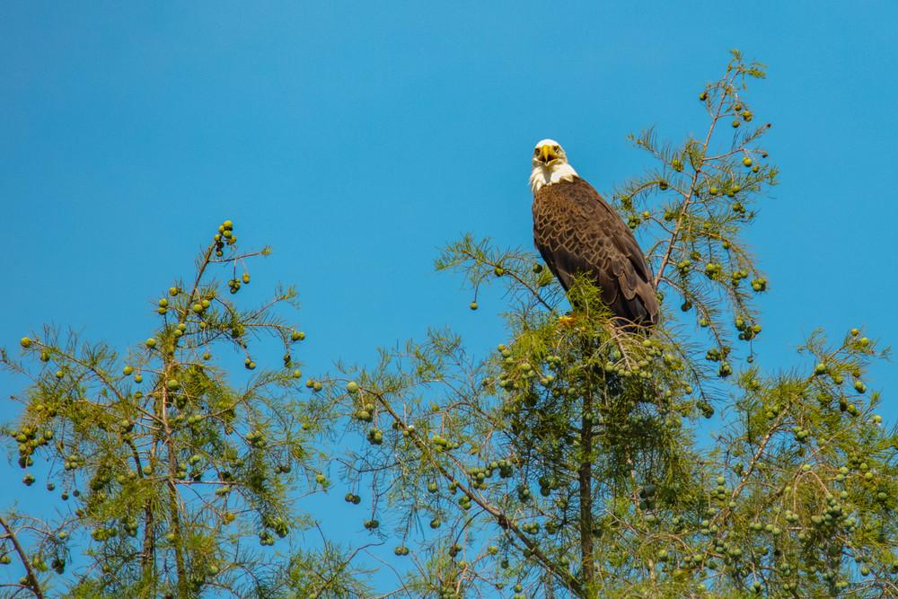 Bald Eagle 8876  Art | Koral Martin Fine Art Photography