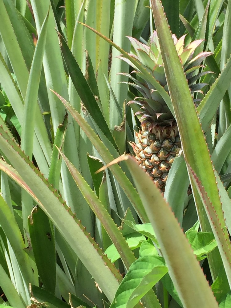Pineapple Hiding Art | Nisha Strain