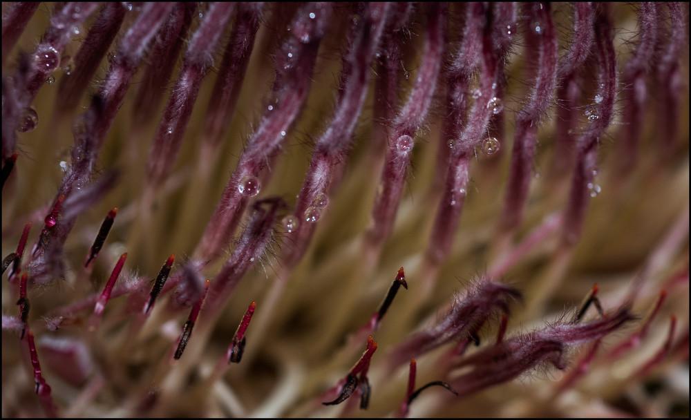 Protea Detail Photography Art | Ed Sancious - Stillness In Change