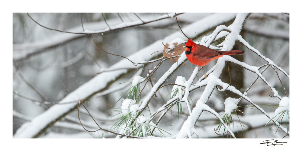 Cardinal on snow covered branches for your wall art.