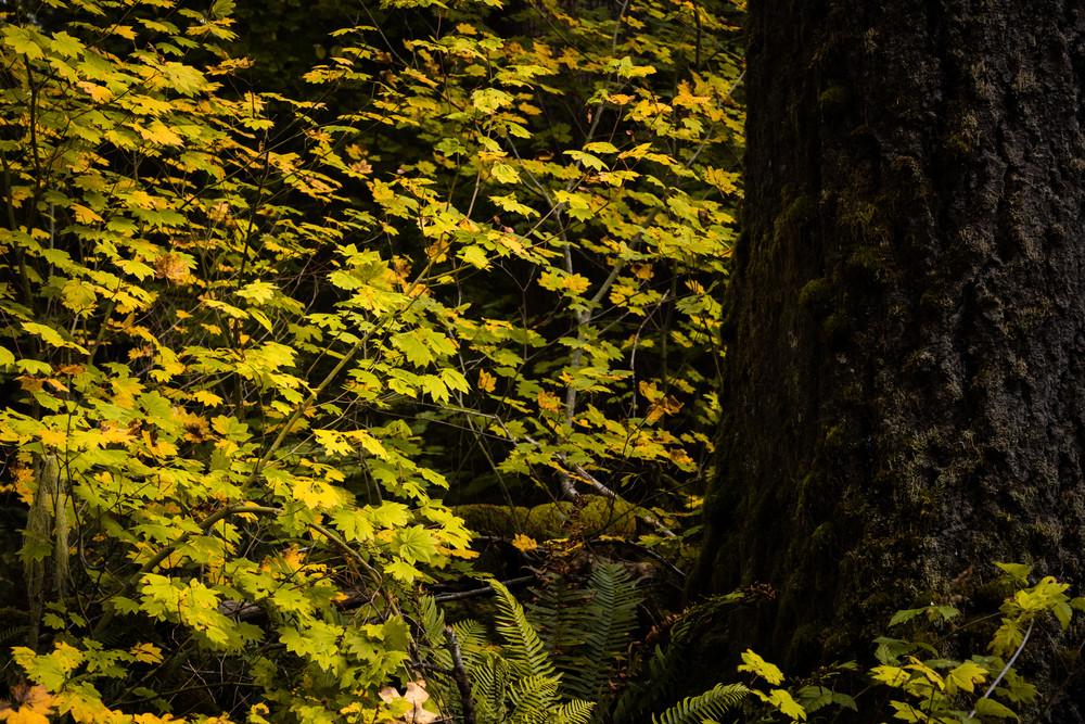 Autumn Maples, Oakville, Washington, 2020