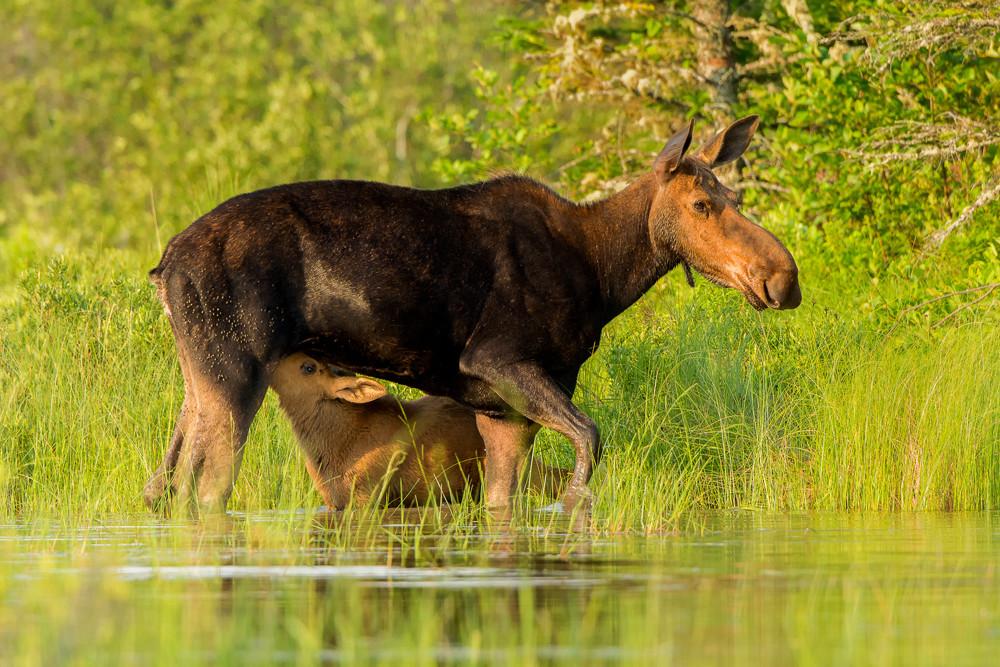 Cow Moose Nursing Calf