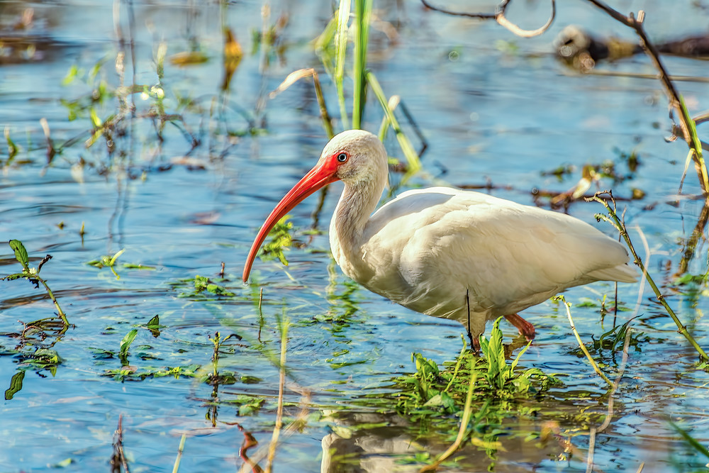 White Ibis Photography Art | Grace Fine Art Photography by Beth Sheridan