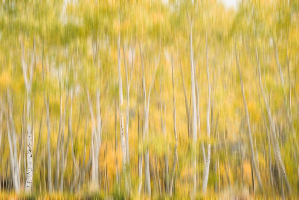 Aspen Dancing - Fall colored trees in the Eastern Sierras, California photograph print by Heather Roberson