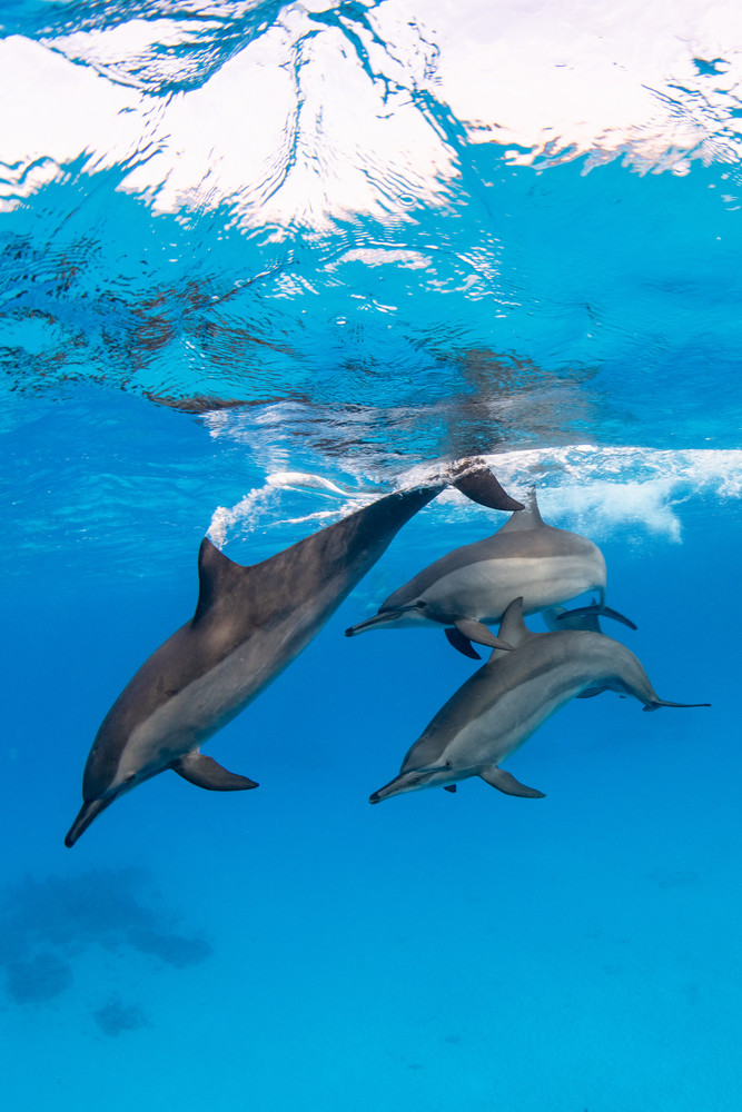 Dolphins playing together is a fine art photograph available for sale.