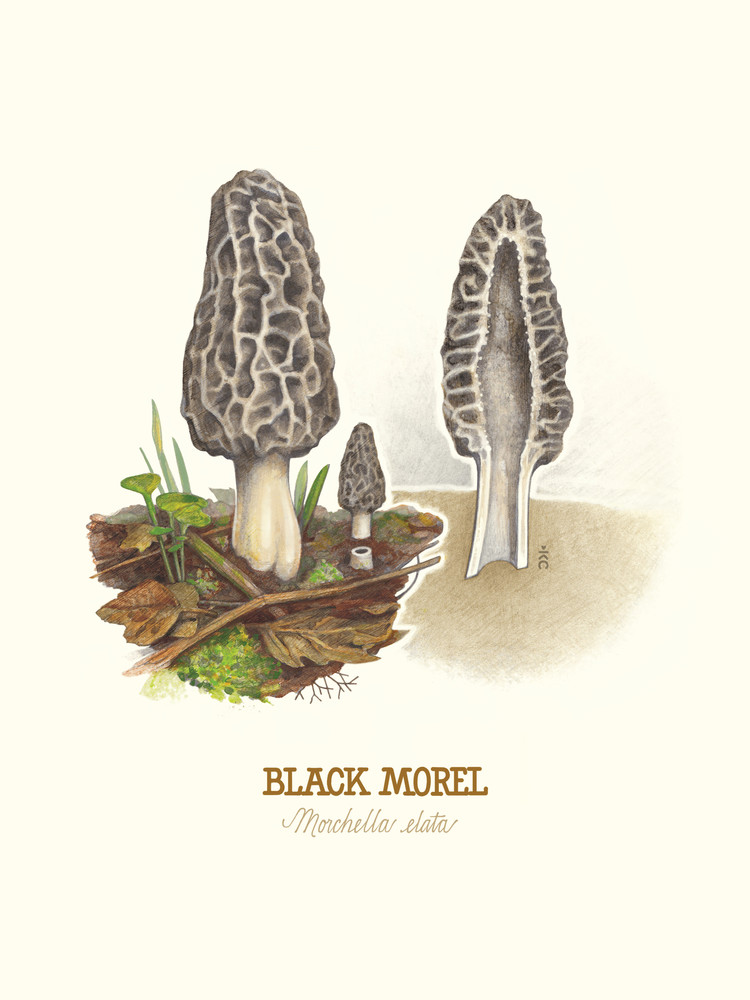 Black Morel Mushroom Art | Cool Art House - online art gallery with hip emerging artists. Collect cool art you can view on your own wall before you invest!