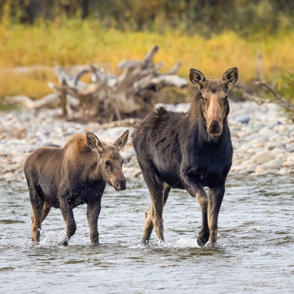 Moose crossing the Gros Ventre River