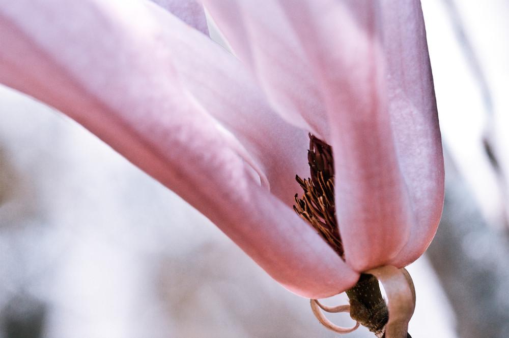Pink Magnolia No. 2 Art | Anna Jaap Studio