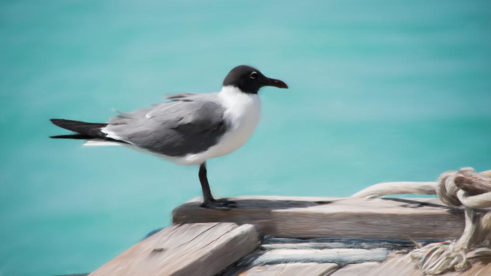 Seagull Aruba Art   Thriving Creatively Productions