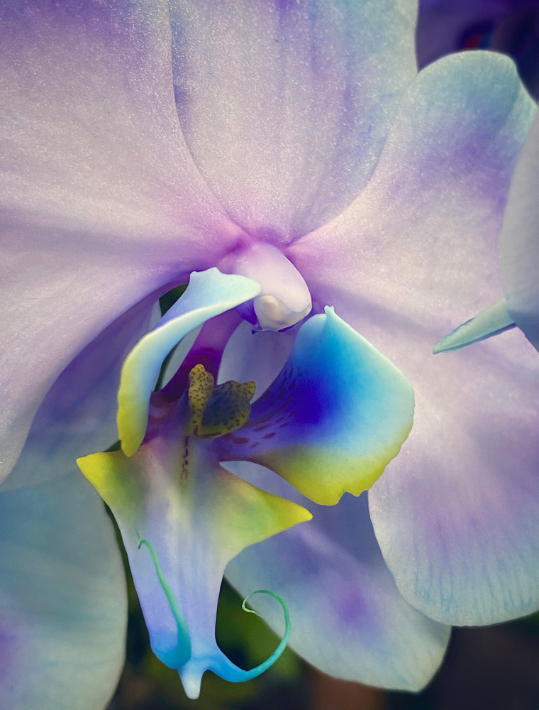 Multi Orchid Photography Art   Kathleen Messmer Photography