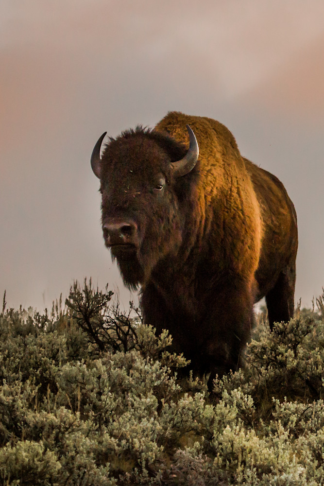 Moody Bison Photography Art | Colorado Born Images