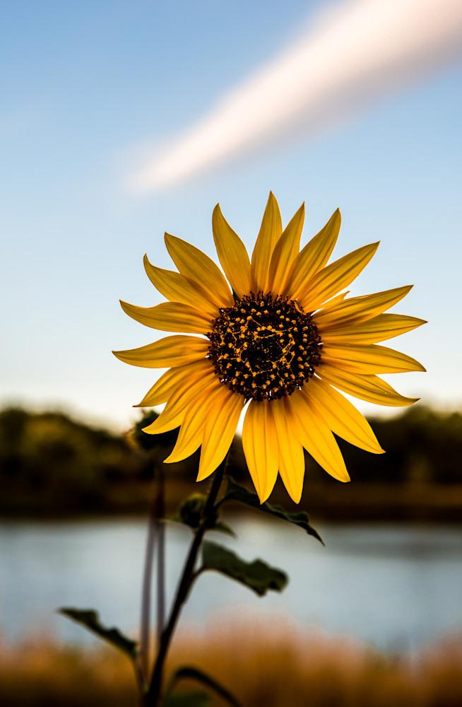 Lakeside Sunflower Photography Art   Colorado Born Images