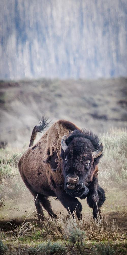 Buffalo Charge  Photography Art | Colorado Born Images