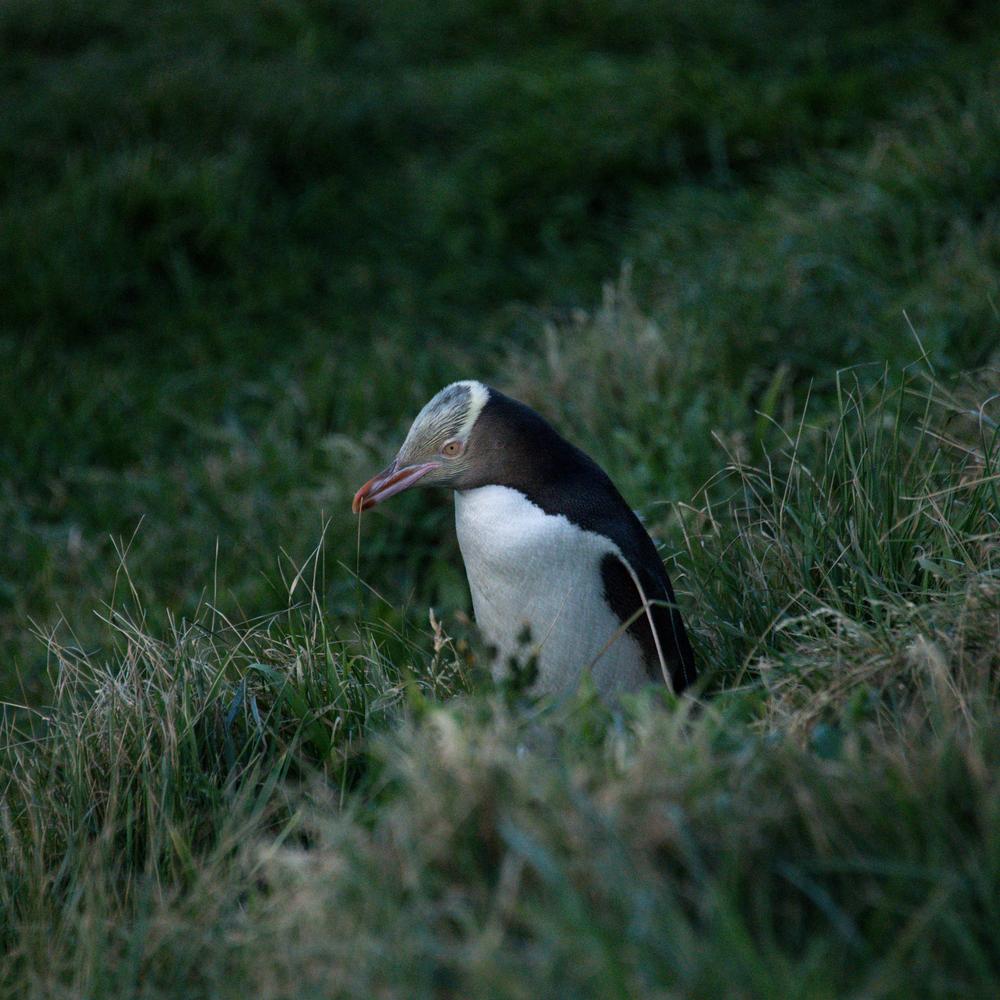 Penguin Portrait Photography Art | Hatch Photo Artistry LLC
