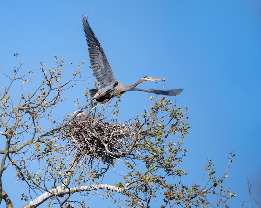 Male Heron Leaving Nest  Photography Art | Hatch Photo Artistry LLC