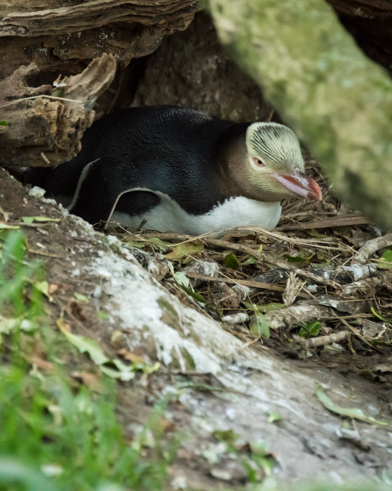 Yellow Eyed Penguin On Nest Photography Art | Hatch Photo Artistry LLC