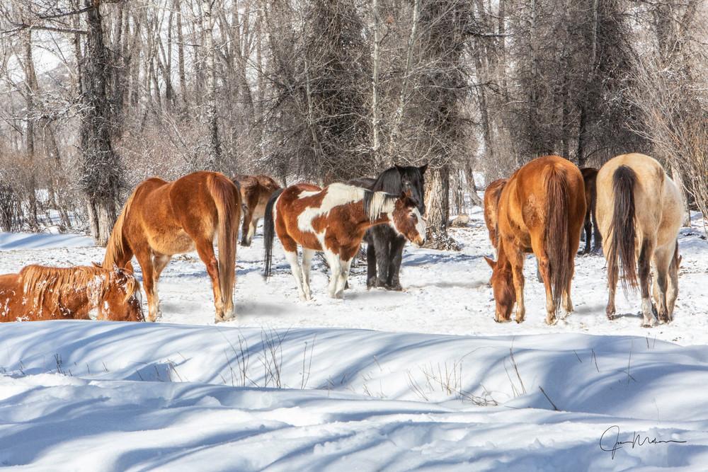 gathered horses, Colorado, snow, winter, morning, woods