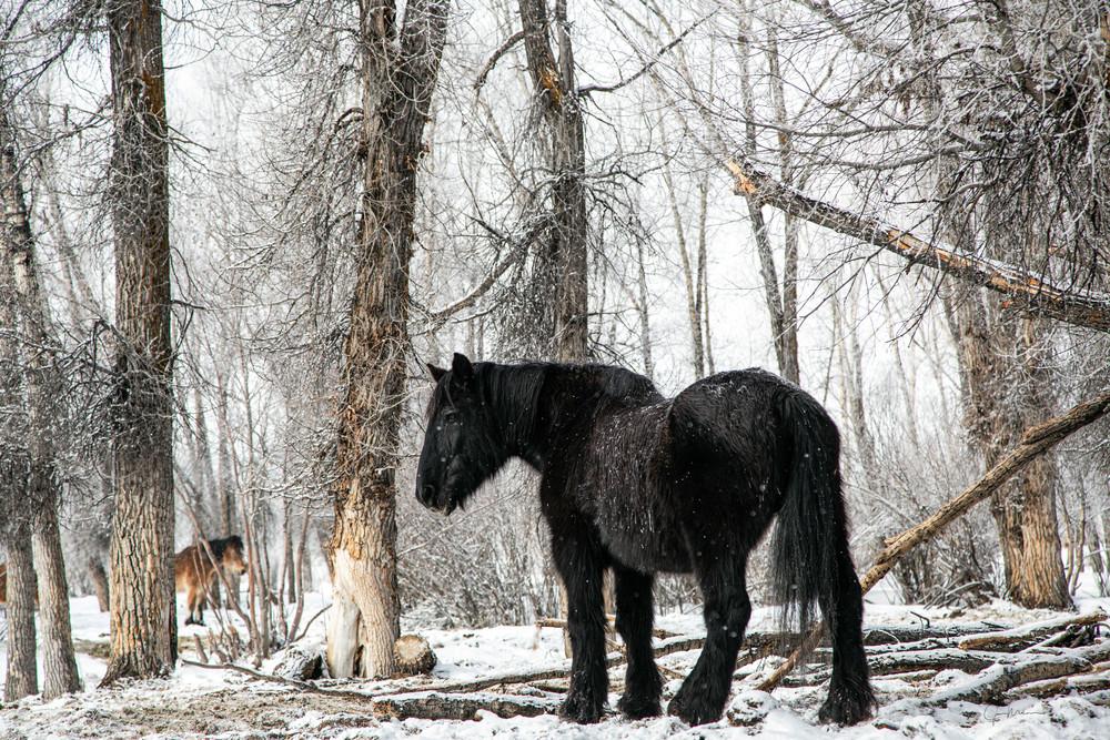 Horses, Colorado, snow, winter, woods