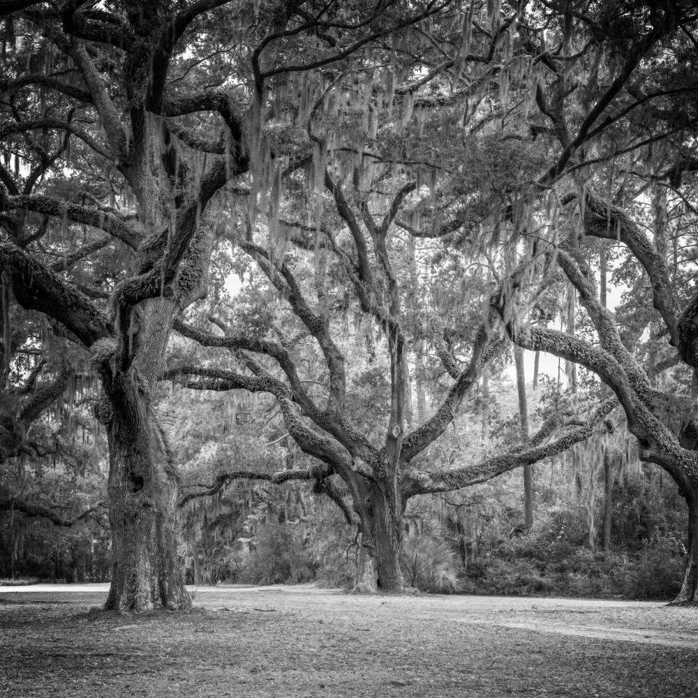 Legacy Oak - 6 Oaks Cemetery