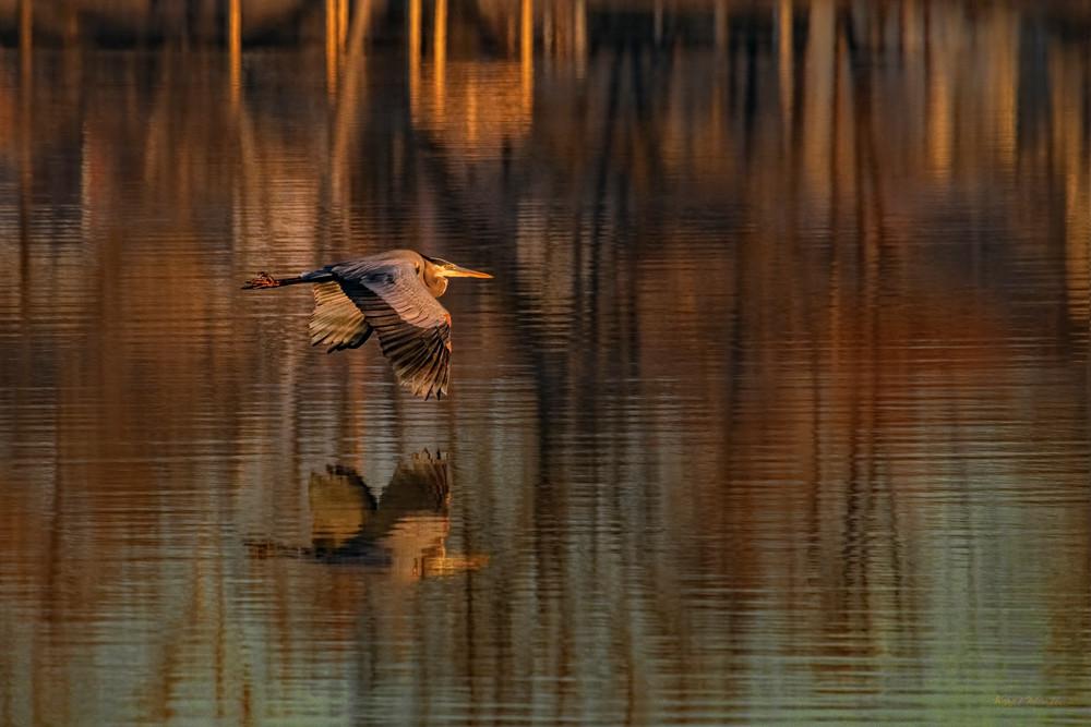 Perfect Moment In Time     Heron Flying Over Kellegg Lake  0687  Art | Koral Martin Fine Art Photography