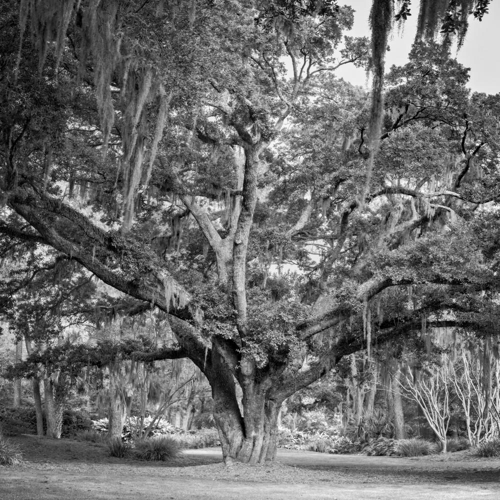 Fraser Oak - Sea Pines Legacy Oak