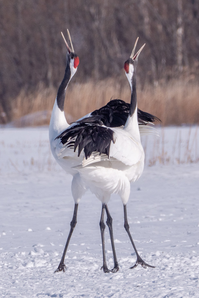 Red-crowned cranes in Hokkaido, Japan. This is one of the rarest cranes in the world - there are estimated to be around 2,750 in the wild. In Japanese culture, the crane is a mystical creature that symbolizes good fortune and longevity.