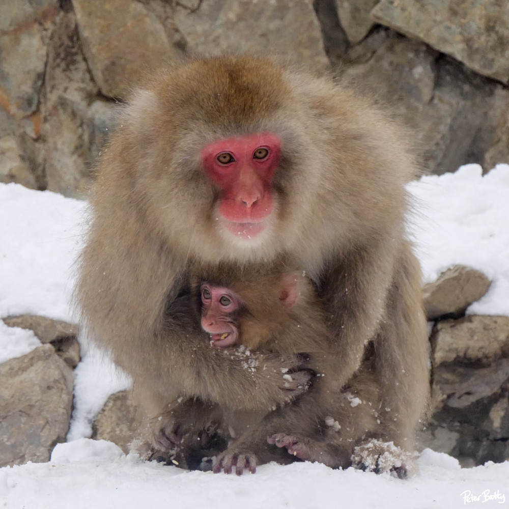 Snow monkey mother hugging her baby in Jigokudani, Japan.