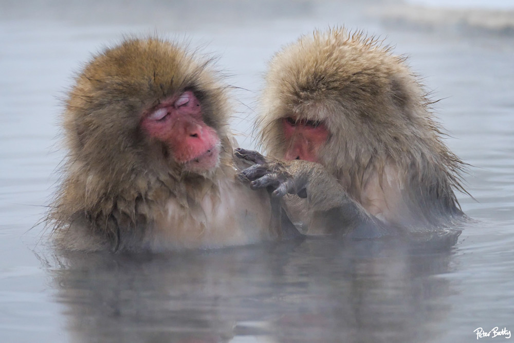 Snow monkeys grooming in Jigokudani, Japan.