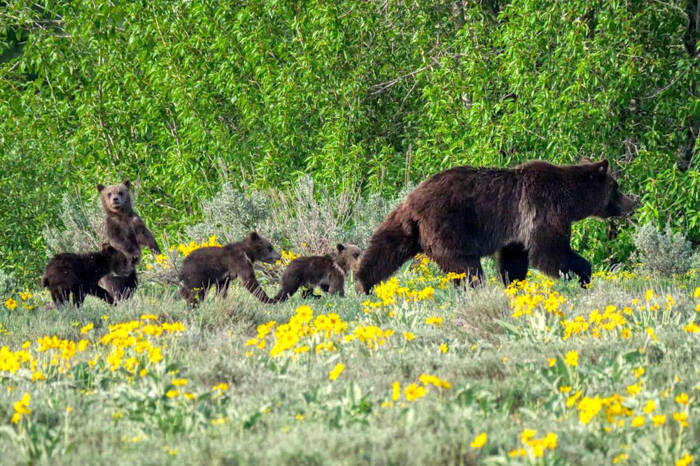 Grizzly 399 is possibly the most famous bear in the world, and lives in Grand Teton National Park. She is 24 years old, and this year had four cubs, an unusually large number. I was excited to capture her with all four here.