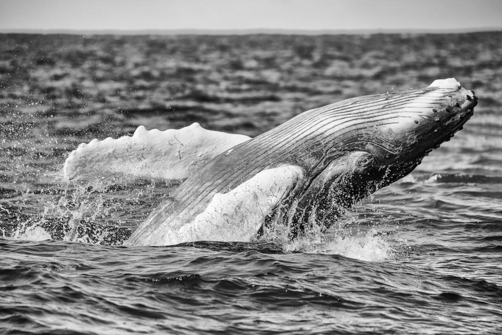 Humpback Whale Calf Breaching BW, Silver Bank, Dominican Republic
