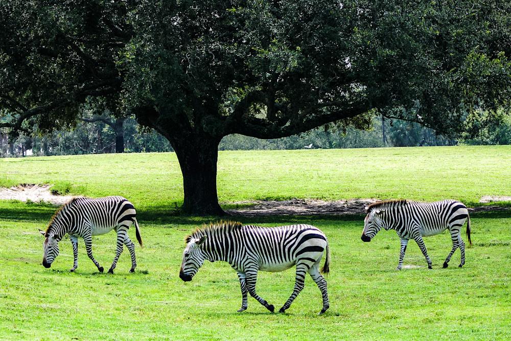 Zebras wild animal landscape