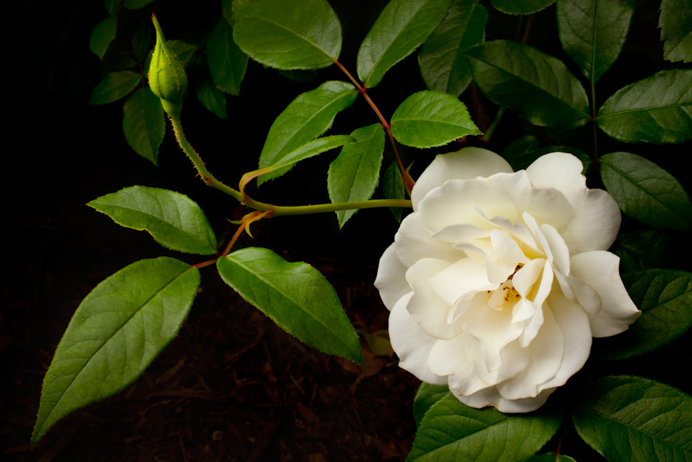 White Rose Photography Art | Rick Gardner Photography