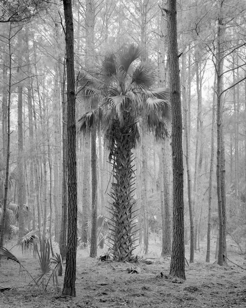 Palm Tree, Ossabaw Island, Georgia 1973 Photography Art | Rick Gardner Photography