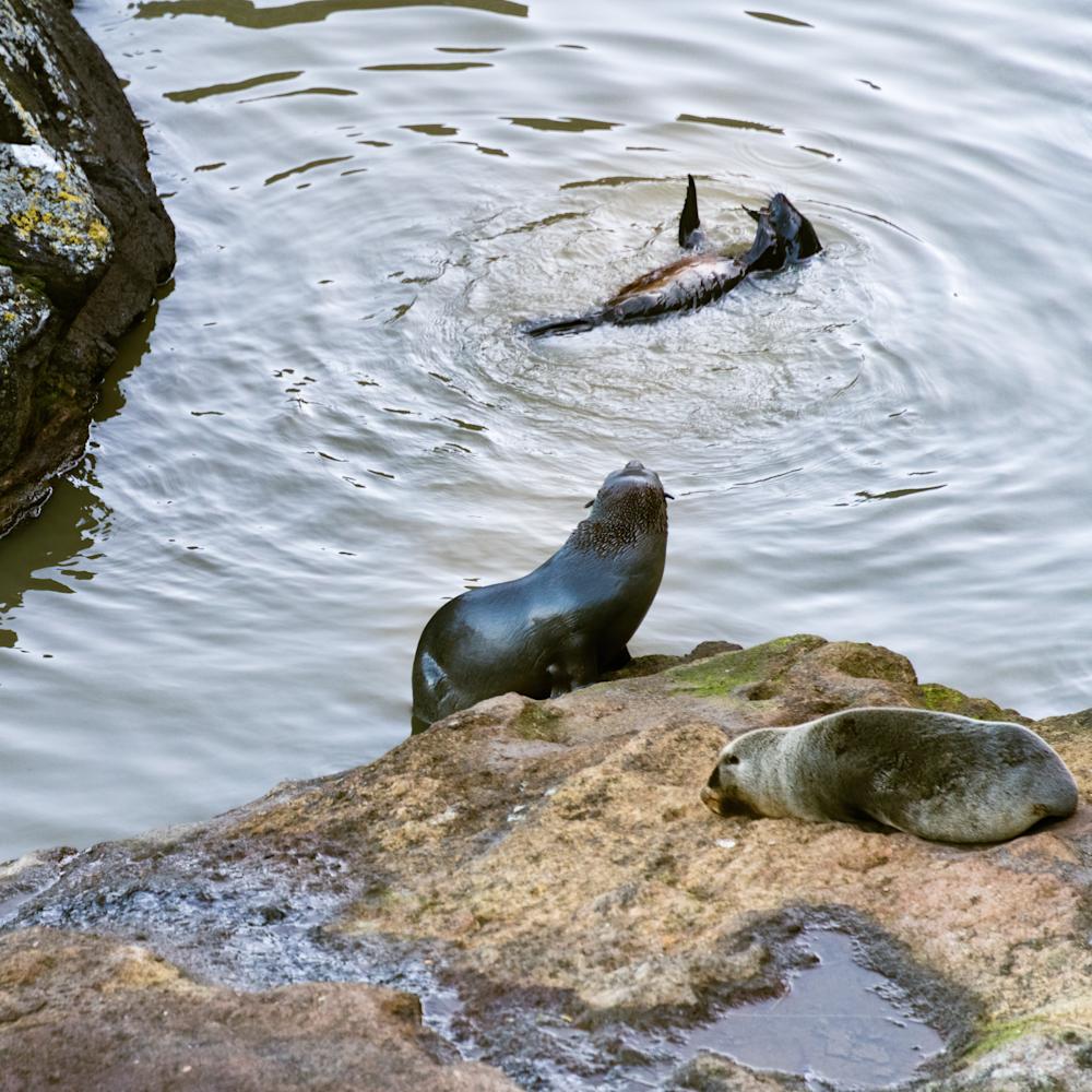 Nz Fur Seal Playtime Photography Art | Hatch Photo Artistry LLC