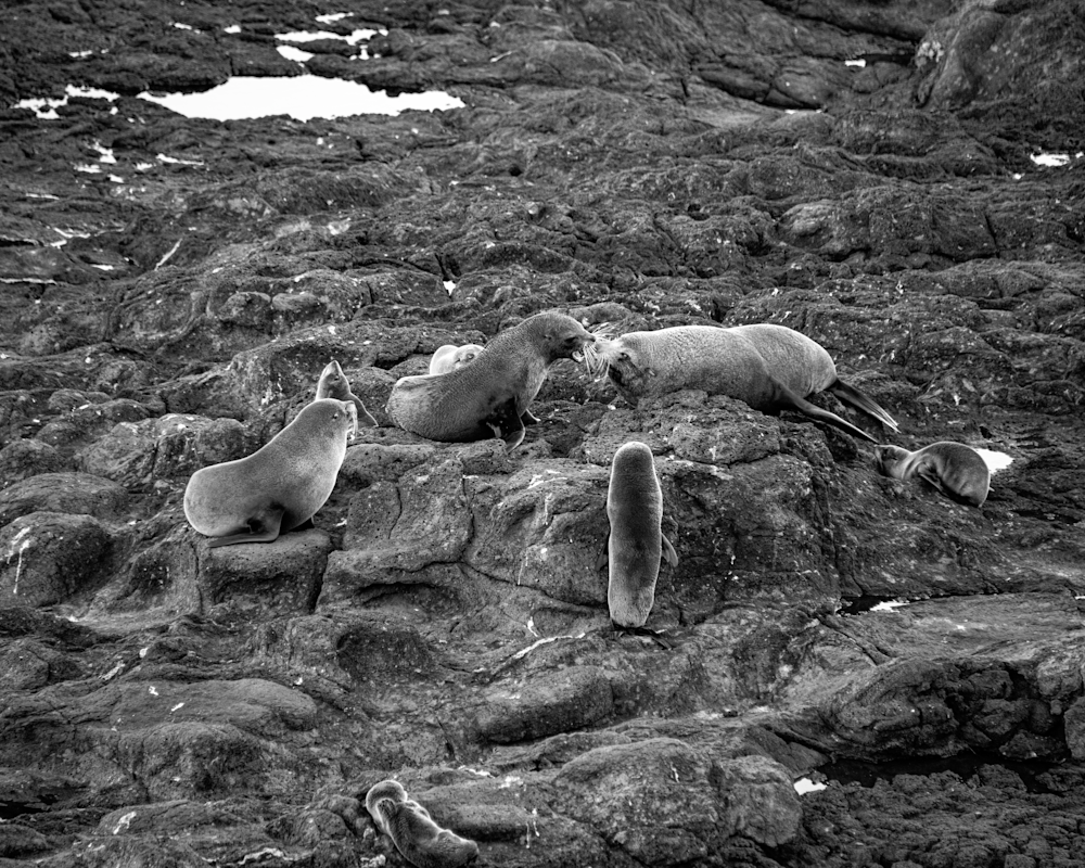 Squabbling Fur Seals Bw 45 Photography Art | Hatch Photo Artistry LLC