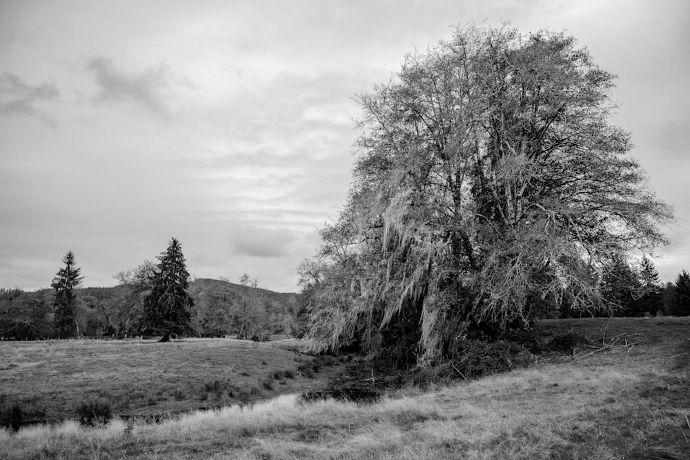 Tree in a Pasture, Brooklyn, Washington, 2020