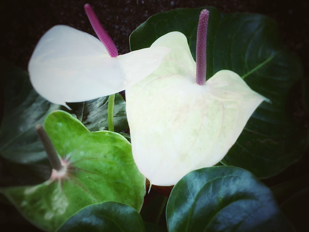 White Anthuriums Photography Art | Kathleen Messmer Photography