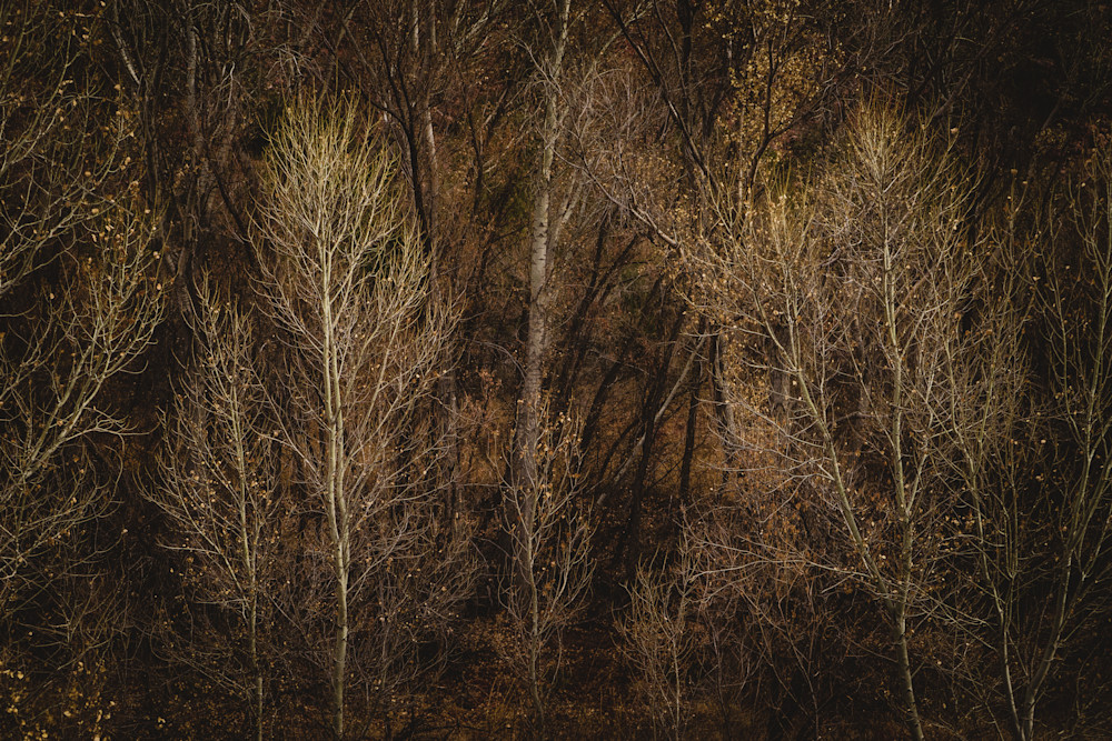 Fairy Lights - Cottonwood trees in winter in Arizona photograph print