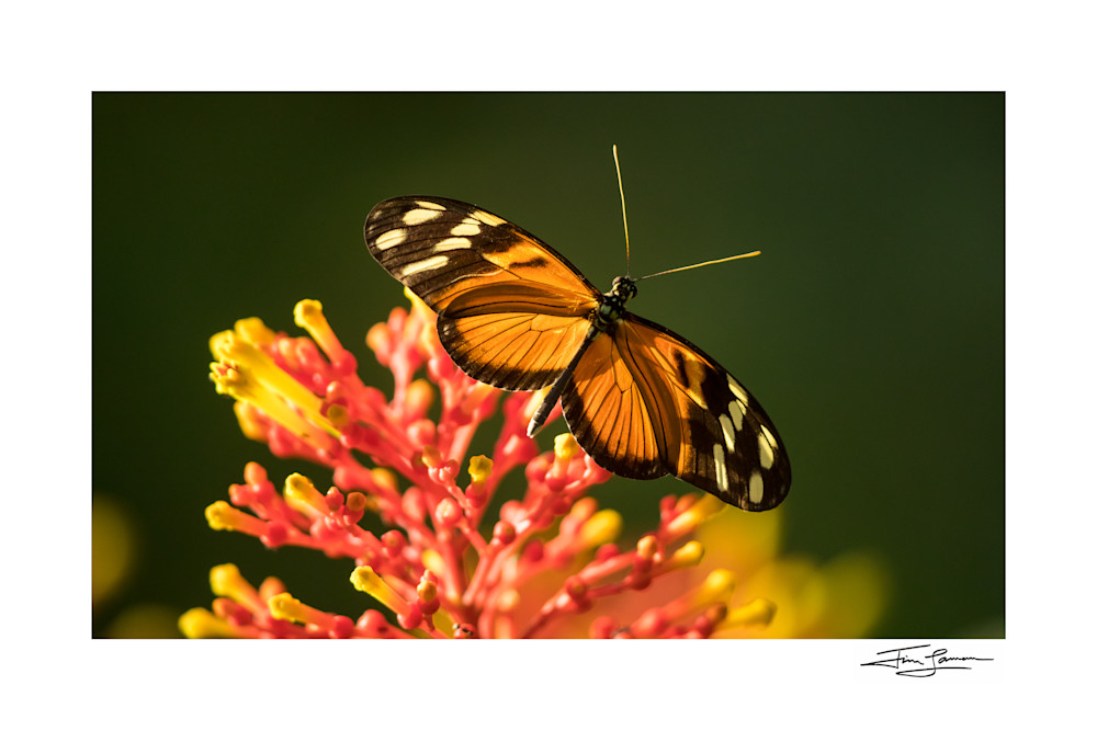 Tiger Longwing Butterfly Photography Art   Tim Laman Photo