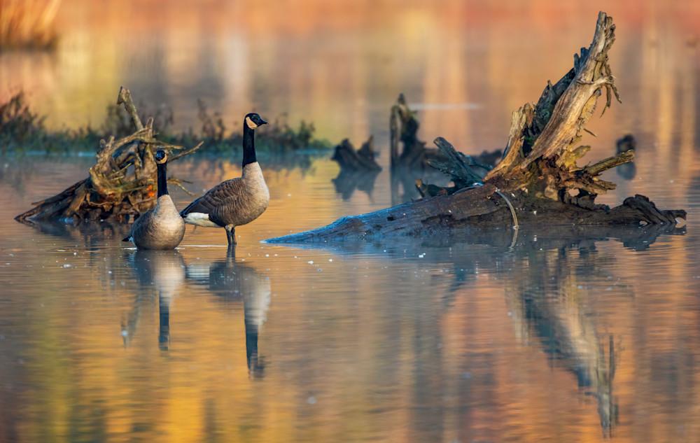 Golden Hour Geese