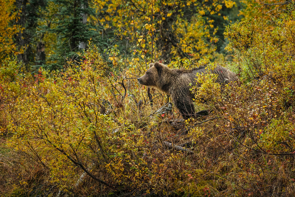 A grizzly bear in dense brush on the lake shore at Crescent Lake in Lake Clark National Park    Photo by Jeff Schultz (C) 2016  ALL RIGHTS RESERVED