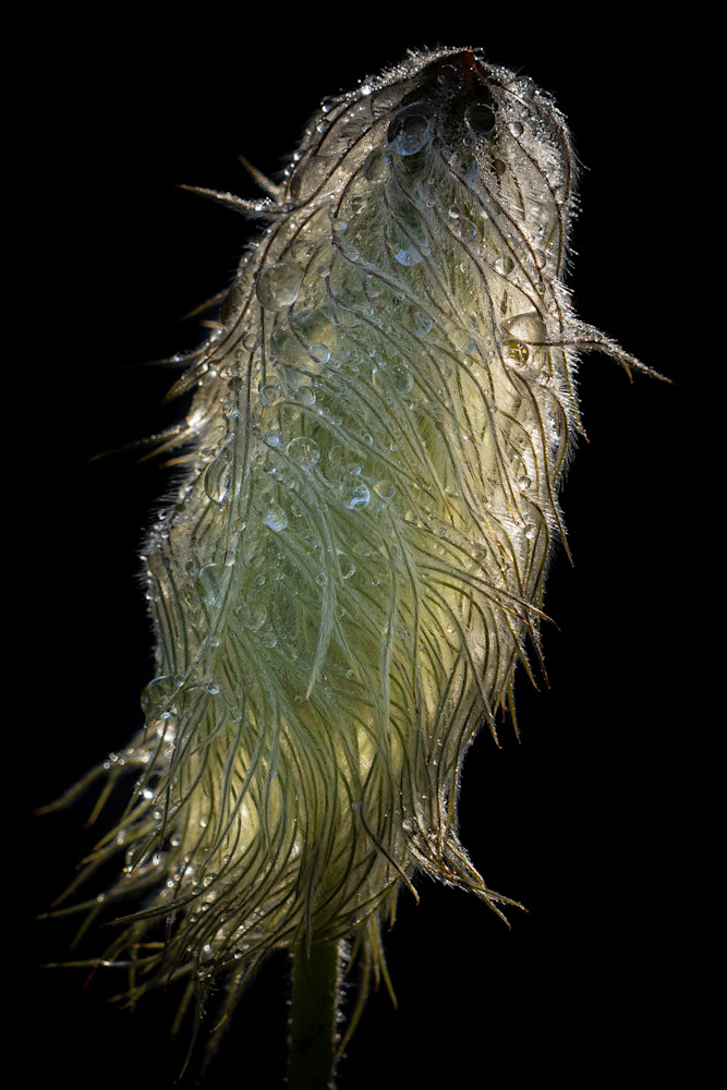 Tom Weager Photography - Western Anemone