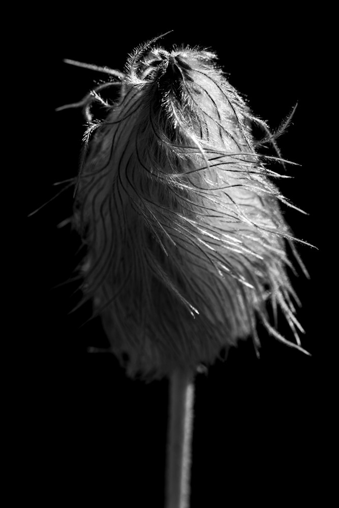 Tom Weager Photography - Western Anemone in black and white