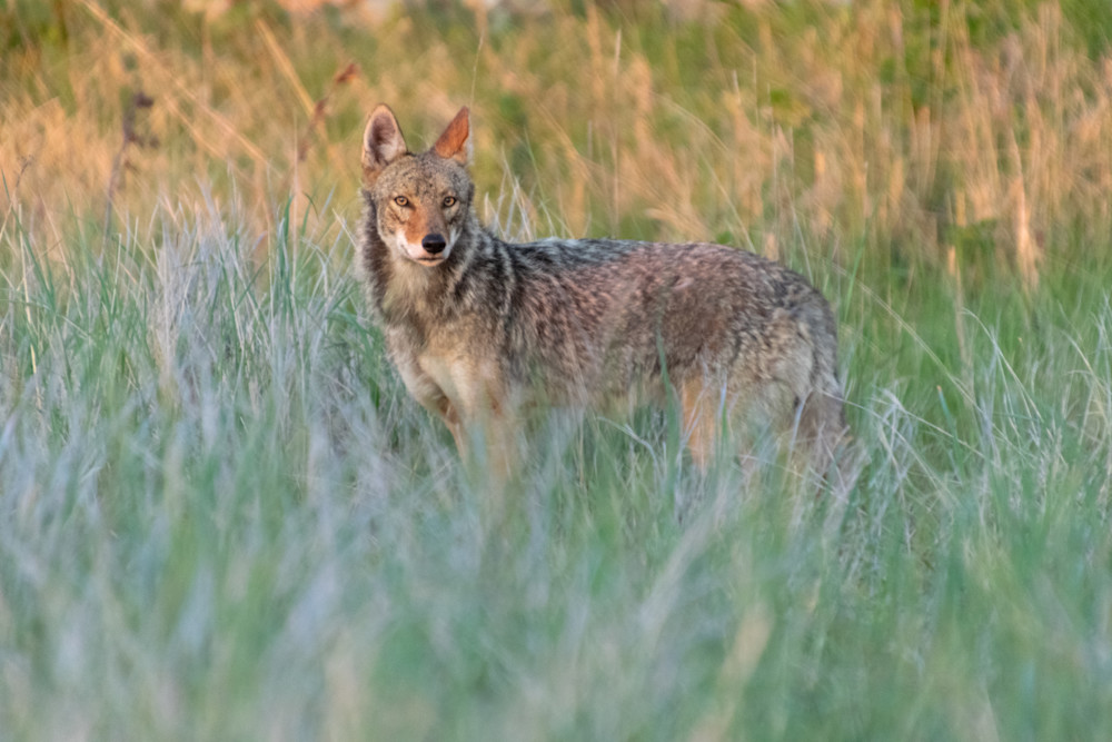 Sunrise Coyote Photography Art | The Colors of Chatham