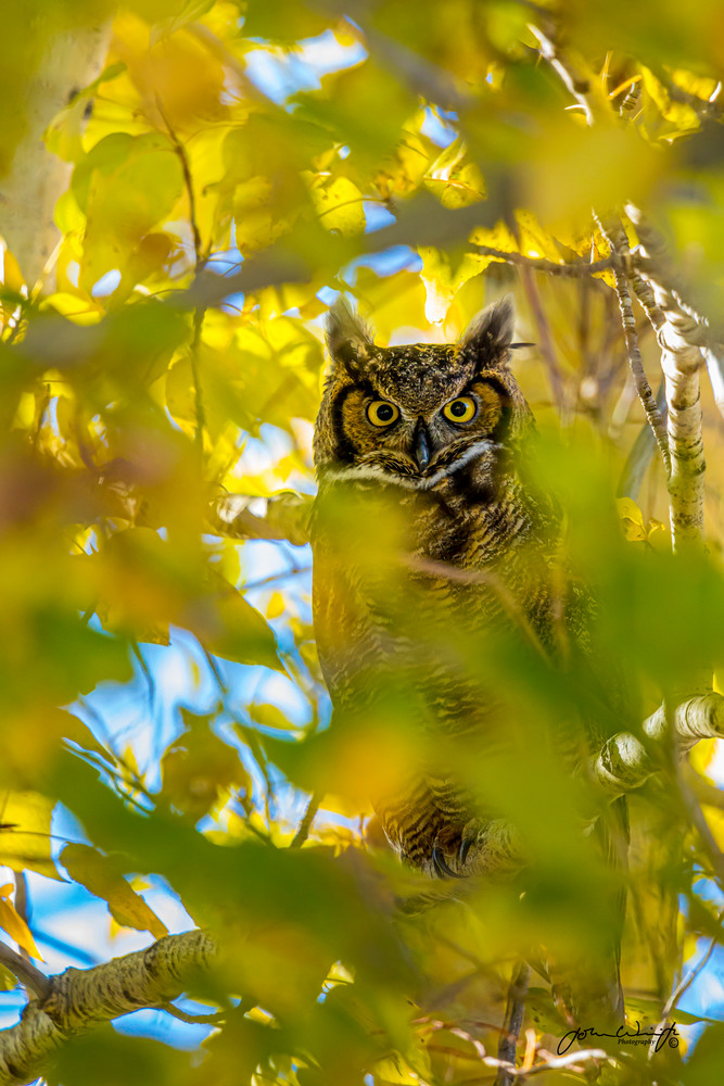 Great Horned Owl In Fall Cottonwoods Photography Art   John Winnie Jr. Photography