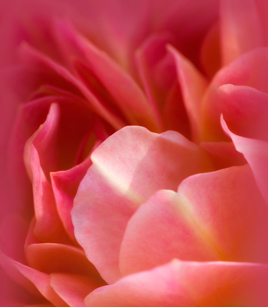 Pink Petal Perfection Rose Close-Up
