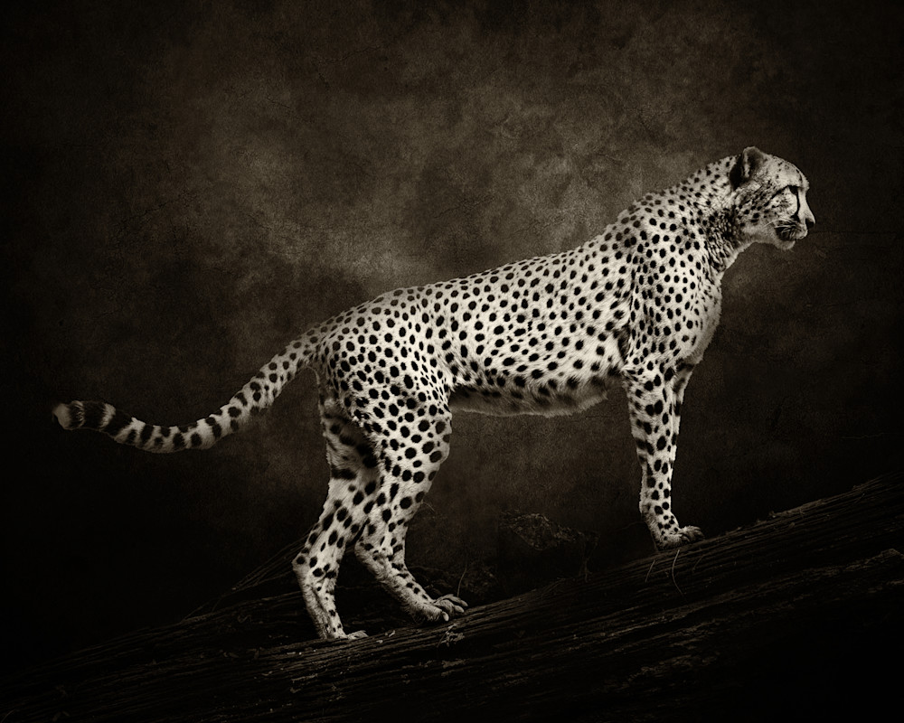 Cheetah on Log with Textured Background