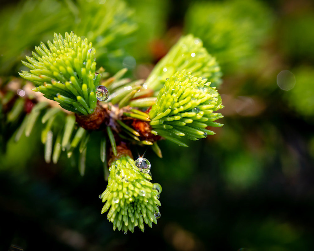 Evergreen Needles with Water Droplets