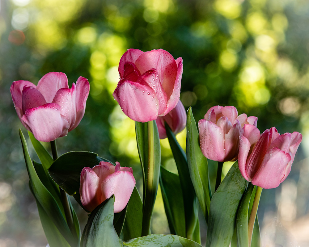 Pink Tulips with Water Droplets