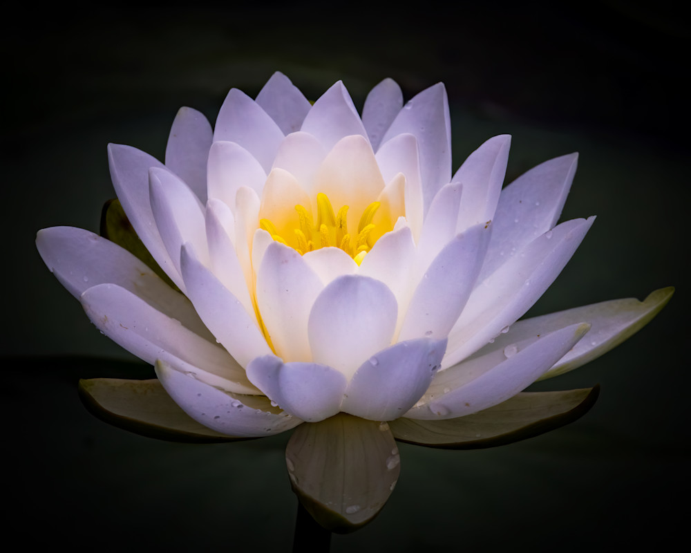 Water Lily on Dark Background